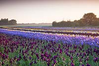 Howard Nurseries open ground bearded Iris fields in May. Iris 'Sable' and Iris 'Blue Rhythm' in foreground.