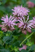 Monarda fistulosa 'Ou Charm' - Bergamot or bee balm, bears small shaggy heads of pale pink flowers with dark plum coloured heads and bracts. Flowering from July.