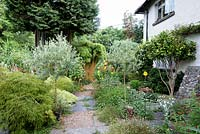 Standard Olea europaea - Olive - trees in pots frame a path surrounded by planting including self-seeded Erigeron karvinskianus, Acer and Hakonechloa macra 'Aureola'
