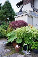 Cottage garden with view over a group of pots planted with an Acer, variegated grass, Hemerocallis - Daylily to flat roof with a collection of galvanised watering cans and buckets
