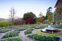 The Parterre at Hotel Endsleigh with bubbling central fountain and beds of pink tulips underplanted with violas in spring