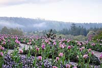 The Parterre at Hotel Endsleigh with beds of pink tulips underplanted with violas in spring