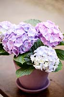 Hydrangea growing in terracotta pot.