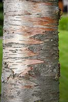 Bark of Betula pendula syn. Betula birch.