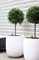 Pair of large white containers planted with standard Laurus nobilis lollipop trees in modern garden.