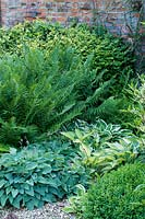Buxus, Ferns and Hosta in mixed border.