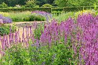 Salvia 'Amethyst' in The Perennial Meadow at Scampston Hall Walled Garden, North Yorkshire, UK.