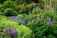 Lupinus 'Governor Blue' and Alchemilla mollis in borders either side of path