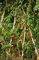 Tomatoes supported by bamboo canes in the Kitchen garden. Ferragamo garden, Tuscany, Italy.