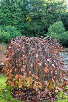 Fagus sylvatica 'Pendula' - Weeping Beech in late autumn