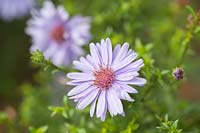 Symphyotrichum dumosus 'Early Blue' - European Michaelmas Daisy, Aster