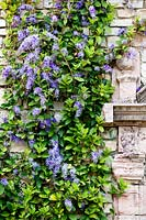 Petrea volubilis - Queen's Wreath or Sandpaper Vine - growing on old stone wall