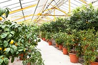 Citrus nursery undercover, view along rows of potted plants