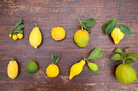 Citrus medica - Citron - collection of fruits