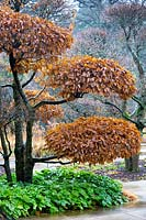Hornbeam topiary in winter