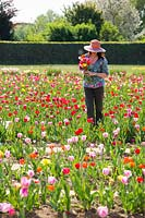 Woman holding bunch of cut flowers picked from Tulipa - Tulip - field