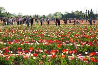 Visitors to pick-your-own Tulipa - Tulip - field