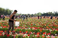Man picking cut flowers in a Tulipa - Tulip - field full of visitors