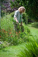 Removing large Sow Thistle weeds from a border by hand