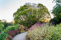 Path amongst flowerbeds of Cornus alba 'Sibirica Variegata', Callicarpa japonica var. luxurians and Hylotelephium 'Herbstfreude'- sedum in Autumn.