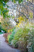 Winding path by beds of Miscanthus sinensis 'Gracillimus in November.