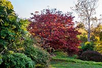 View across lawn to Acer palmatum var. matsumurae and Mahonia x media 'Charity's Sister'.