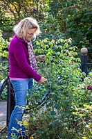 Pruning a tall leggy rose bush in autumn - cutting back by a half to prevent wind damage