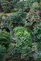 Woodland garden of mature Camellia and steep terraces, other acid-loving shrubs such as Skimmia and Rhododendron