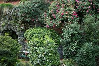 Mature Camellia in a terraced garden with other acid-loving shrubs