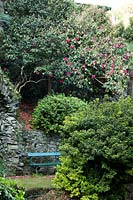 View of bench by stone terraced wall in woodland garden of mature Camellia