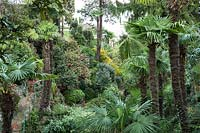 Woodland valley with Trachycarpus fortunei - Chusan Palm - and Camellia and other shrubs beyond