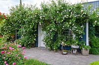 View of tiny house with climbing roses, including Rosa 'New Dawn' and Rosa 'Christine Hélène'