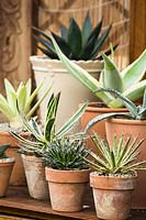 Display of Agave in pots