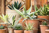 Agave in pots