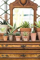 Sales display of potted Agave on vintage furniture in a nursery greenhouse
