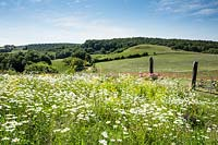 View over meadow with Leucanthemum vulgare - Oxeye Daisy - to hills and trees beyond