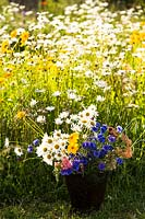 Bucket of mixed cut flowers in front of field of Chrysanthemum leucanthemum - Oxeye Daisy
