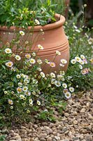 Erigeron karvinskianus - Mexican fleabane growing around the edge of a gravel path.