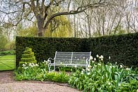 'White garden' with decorative bench surrounded by Tulips 'Angel's Wish',  Tulipa 'Purissima', Corydalis ochroleuca 'pale corydalis', spiral Buxus box topiary and Taxus yew hedge.