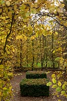 Two clipped box blocks  dotted with fallen leaves are enclosed by a Hornbeam hedge - Carpinus betulus, which is glowing a rich yellow in the autumn sun at Columbine Hall.
