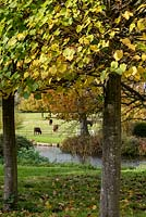 A vista framed by pleached Tilia x europaea - Lime - trees, across the moat to the Red Poll cattle grazing in the parkland