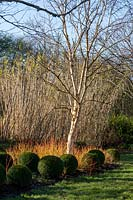Buxus - Box - topiary spheres beneath bare stems of Cornus - Dogwood and Betula - Silver Birch