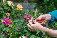 Gardener deadheading Rosa - Rose