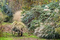 Transplanting ornamental grass in autumnal garden.