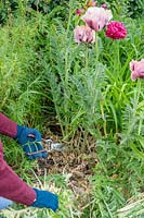 Woman cutting back Papaver 'Pattie's Plum' - Oriental Poppy.