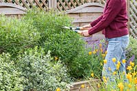 Woman uses hand shears to perform 'Chelsea Chop' on a Penstemon in early summer, to stimulate more growth.