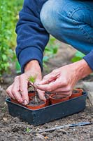 Woman carefully transplanting Cosmos seedling from the ground into small plastic pot, by holding the seed leaf