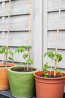 Recently-planted Tomato plants in terracotta, glazed and plastic pots