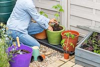 Woman planting Tomato plant out into large glazed pot