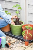 Planting a Tomato plant out into large glazed pot
